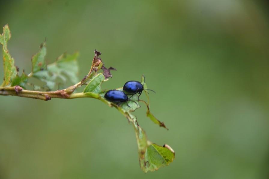 Alder beetles