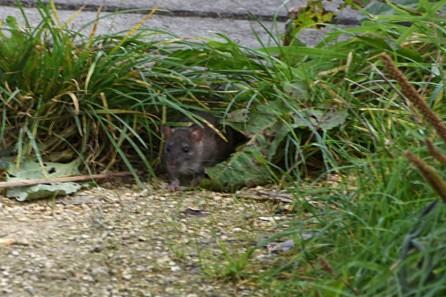 Rattus norvegicus