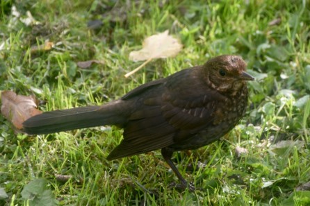 Female blackbird (or is it a thrush?)