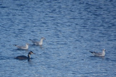 Grebe and gulls