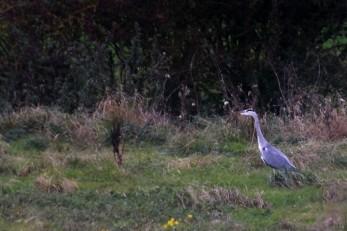 Rugby field heron