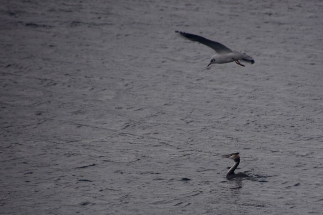 Gull and grebe