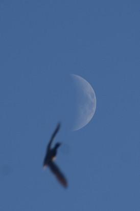 Mallard and moon
