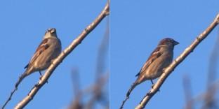 Pond sparrow