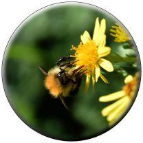Bee on ragwort
