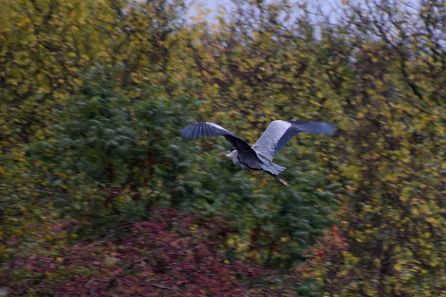 Departing Heron