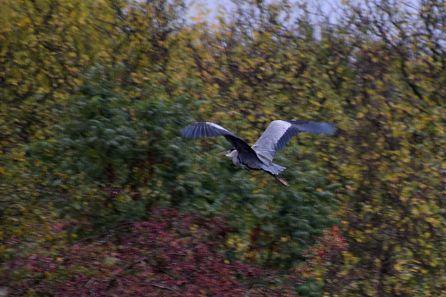 Departing Heron