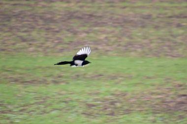 Passing magpie