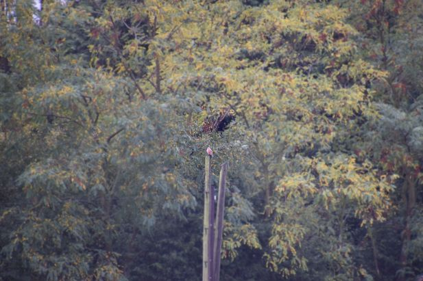 Distant kestrel on a pylon
