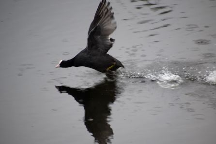 Attacking coot